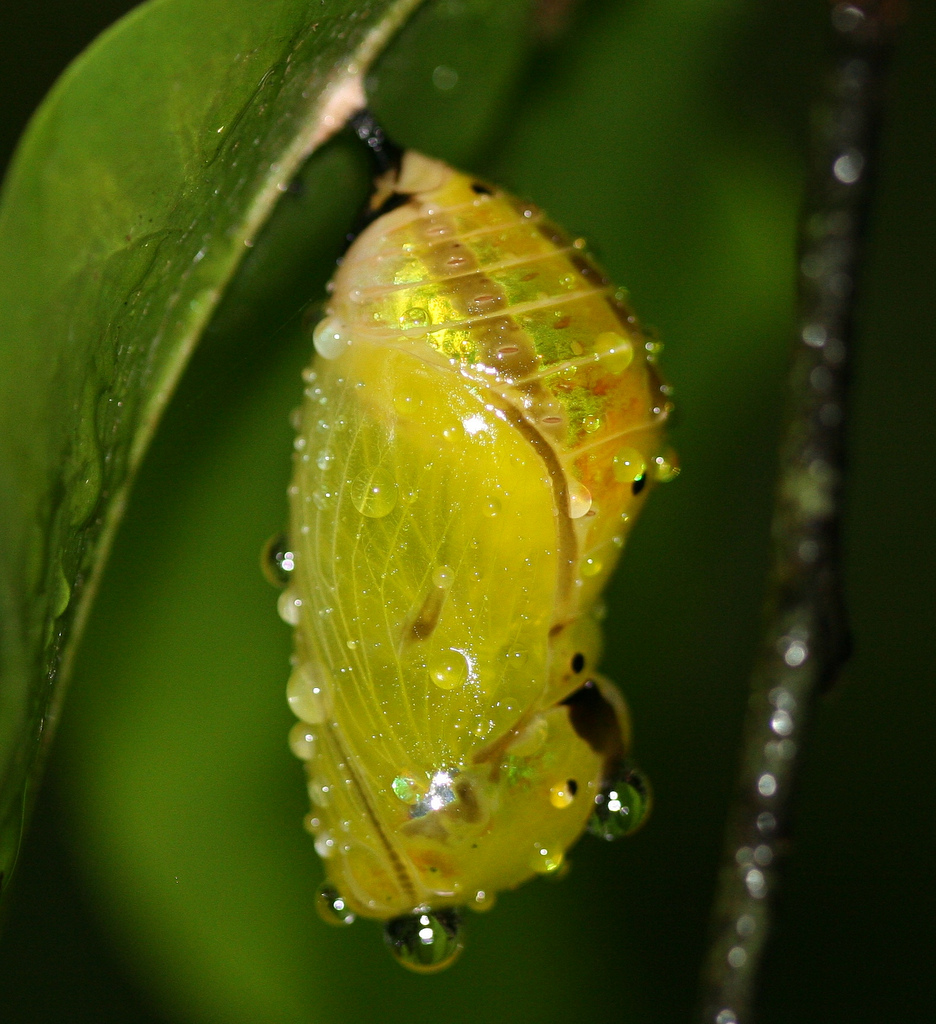 Chrysalis photo